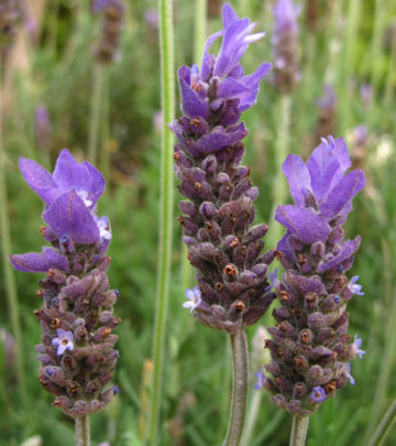insect repellent herbs - lavendar
