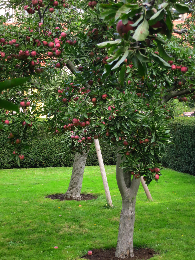 how to grow apples - making granitas - SA Garden and Home