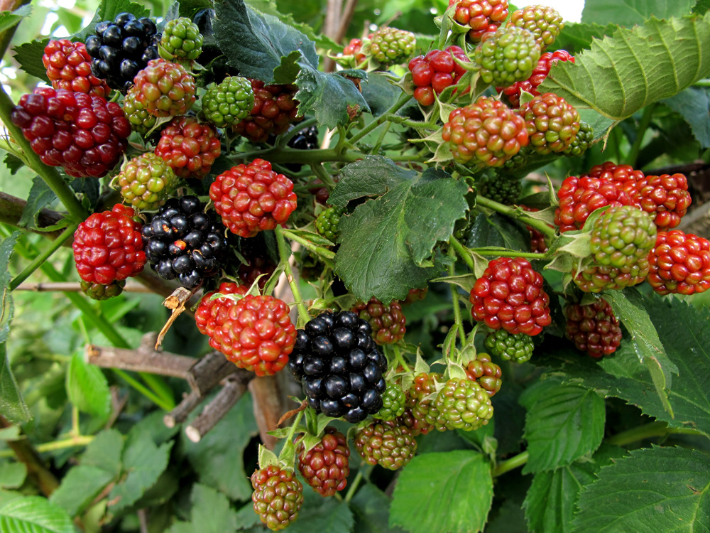 how to grow tayberries - - making granitas - SA Garden and Home
