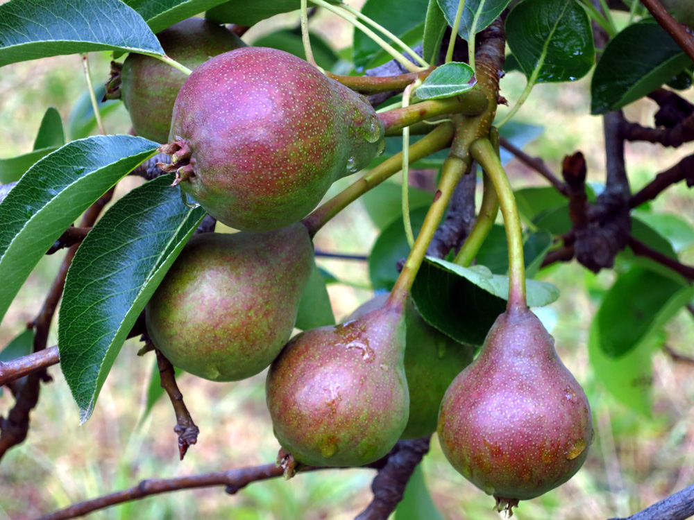 how to grow pears - making granitas - SA Garden and Home
