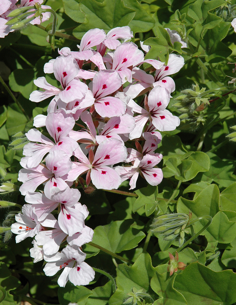 Pelargoniums - groundcovers - SA Garden and Home