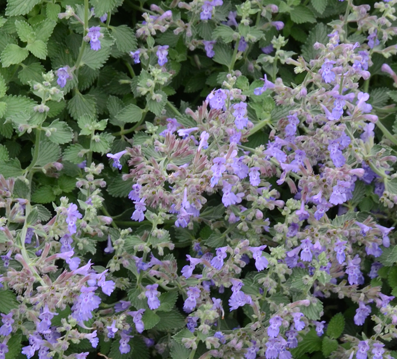 gardening for pets - catmint - SA Garden and Home